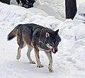 Wolf Kolmården.jpg