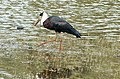 Woolly-necked stork Ciconia episcopus (2156063800).jpg