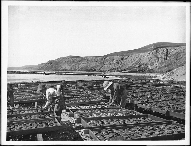 Workers drying abalone shells in the sun in southern California (CHS-1399).jpg