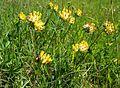 Wundklee, Anthyllis vulneraria.jpg