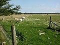 Wyke Down, freshly shorn sheep - geograph.org.uk - 1432116.jpg