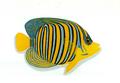 XRF-Pygoplites diacanthus.png