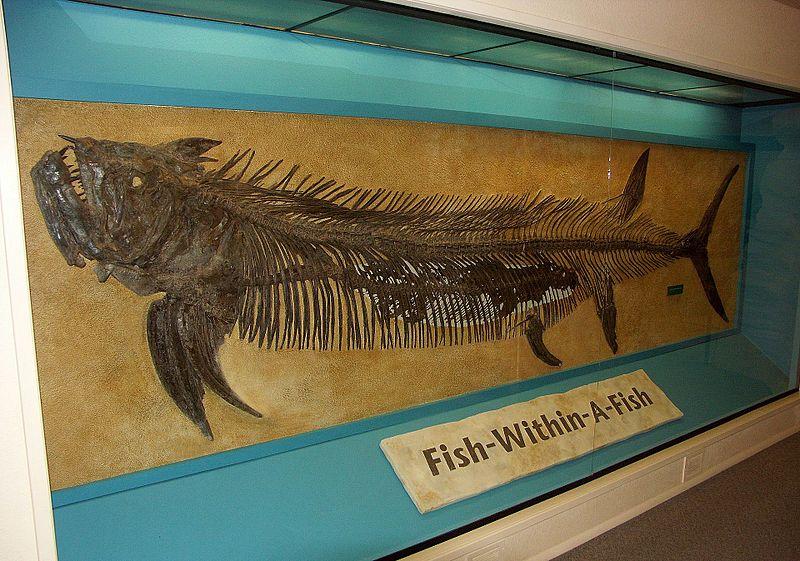 File:Xiphactinus audax Sternberg Museum.jpg
