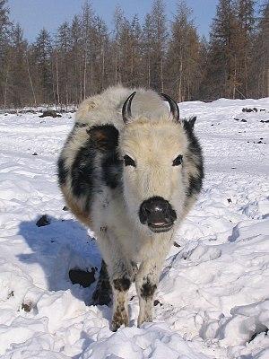 Yakutian cattle - Image: Yakutian Cattle 01 Head on