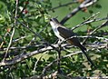 Yellow-billed Cuckoo (34872543002).jpg