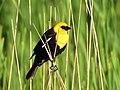 Yellow-headed blackbird on Seedskadee National Wildlife Refuge (34487142864).jpg