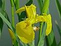 Yellow Flag Iris (Iris pseudacorus) (8338525892).jpg