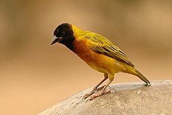 Yellow backed weaver.jpg