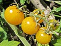 Yellow cherry tomato (6951843983).jpg