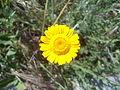 Yellow flowers in Rome 01.JPG