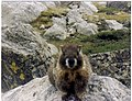 Yellowbellied Marmot.jpg