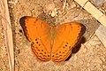 Yeoman (Cirrochroa sp.) (16453181647).jpg