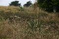 Yucca-filamentosa-naturalised.JPG