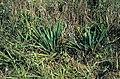 Yucca arkansana subsp. louisianensis fh 1180.65 LOUIS B.jpg