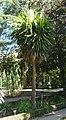 Yucca elephantipes HRM1.jpg