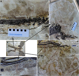 Dromaeosauridae - Preserved feather traces in a fossil Zhenyuanlong suni.