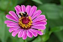 Zinnia elegans with Bombus 01