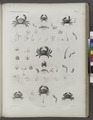 Zoologie. Crustacés. Crabes (NYPL b14212718-1268554).tiff