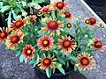 'Arizona Red Shades' gaillardia IMG 0327.jpg