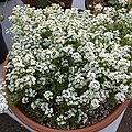 'Giga White' alyssum IMG 5042.jpg