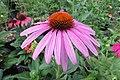 'Prairie Splendor' echinacea IMG 7332.jpg