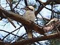 (1)Kookaburra Centennial Park-8.jpg