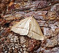 (1902) Brown Silver-line (Petrophora chlorosata) (35015837396).jpg