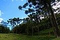 Árvores de Araucária da Mata Atlântica.jpg