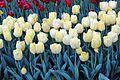 Виставка тюльпанів 12.JPG