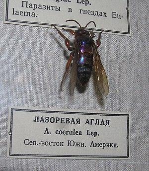 Aglae - Image: Лазоревая аглая cropped