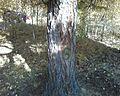 Лиственница №6 - panoramio.jpg
