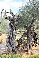 Оld Olive trees in the Garden of Gethsemane, 06.jpg