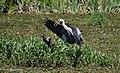 Парк Рильського водяна куріпка та сіра чапля1.jpg