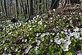 Ржевский (Охтинский) лесопарк. Цветение кислица.jpg