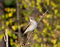 Серая мухоловка - Muscicapa striata - Spotted Flycatcher - Сивата мухоловка - Grauschnäpper (22823655278).jpg