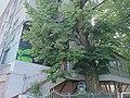 Тернопільська липа (вул.Листопадова, між будинками).jpg