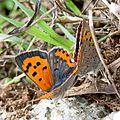 Червонец пятнистый (Многоглазка пятнистая) - Small Copper (American Copper, Common Copper) - Lycaena phlaeas - Малка огневка - Kleiner Feuerfalter (30850539373).jpg