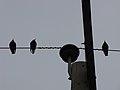 رفتار عجیب سارها بر روی تیرهای برق در اطراف شهر قم، ابتدای فصل زمستان - عکاس. مصطفی معراجی 22.jpg