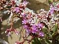 زهور فى قلب الصحراء - panoramio.jpg