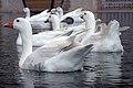 غاز -Geese 05.jpg