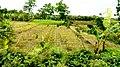 বাঙ্গালীর কৃষি ক্ষেত (Agricultural Land of Bangalis).jpg