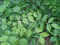 ஆனாப் பழம் 1(Clausena dentata).jpg