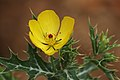 பிரம்மத் தண்டு பூ - Mexican prickly poppy flower - Argemone mexicana.jpg