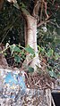 പൊന്നാനിയിലെ പഴയ കെട്ടിടത്തിലെ പേരാല് മരം 2 .jpg