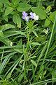 ია კუპფერის Viola kupfferi Kupffer Violet.JPG