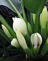 喜林芋屬 Philodendron warmingii -紐西蘭威靈頓植物園 Wellington Botanic Garden, New Zealand- (32654338088).jpg