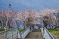 清見台の桜 Cherry trees in Kiyomidai 2014.4.01 - panoramio.jpg