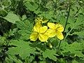 白屈菜 Chelidonium majus -武漢植物園 Wuhan Botanical Garden- (9213323621).jpg