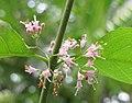 白棠子樹 Callicarpa dichotoma -香港動植物公園 Hong Kong Botanical Garden- (9190627161).jpg