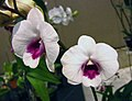 石斛蘭 Dendrobium Burana Diamond -香港沙田洋蘭展 Shatin Orchid Show, Hong Kong- (31333143512).jpg